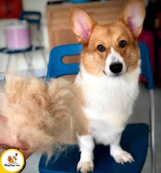 Cách chữa bệnh rụng lông ở chó corgi