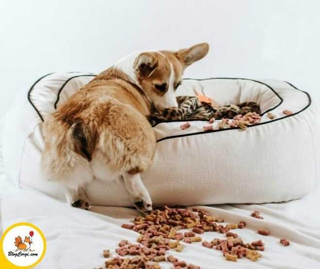 Chó Corgi lười ăn có tốt không?